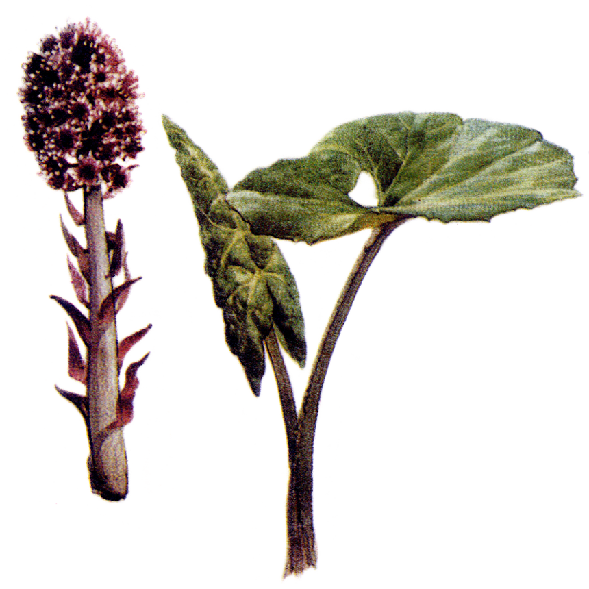 Scientific name: Petasites officianalis